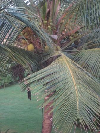 Calangute, India: Coconut Tree In Goa