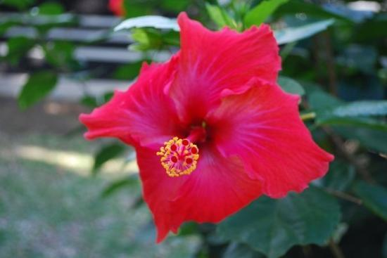 Tahiti, Fransk Polynesia: Hibiscus