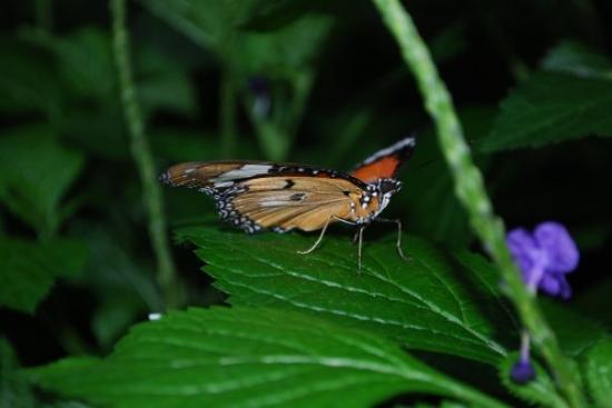 Niagara Parks Sommerfuglobservatorium: Butterfly Conservatory