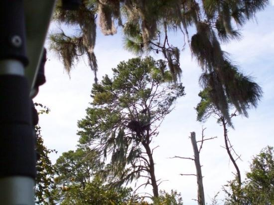 Weeki Wachee, FL: Wickeewatchee Springs Park. Eagle in the trees, look out!