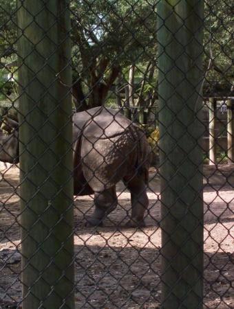 Tampa, FL: A rino's rear enty point.