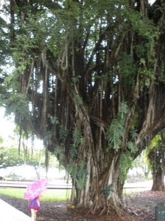 Hilo, HI: Banyan trees...super cool.