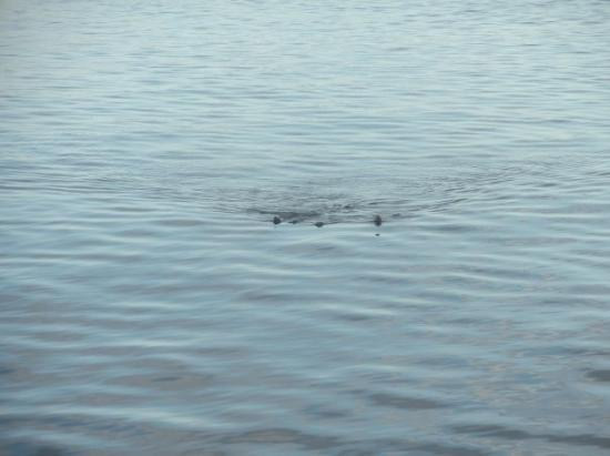Port Angeles, WA: Hard to see, but this is a Gray whale.
