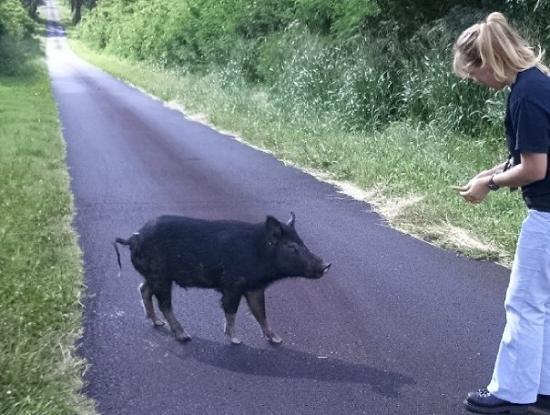 Haleiwa, HI: Greta - a wild hog I used to feed in Lualualei!