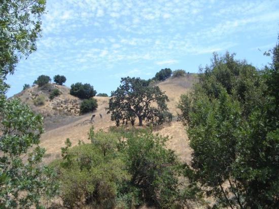 Malibú, CA: oak trees and hills of Malibu!