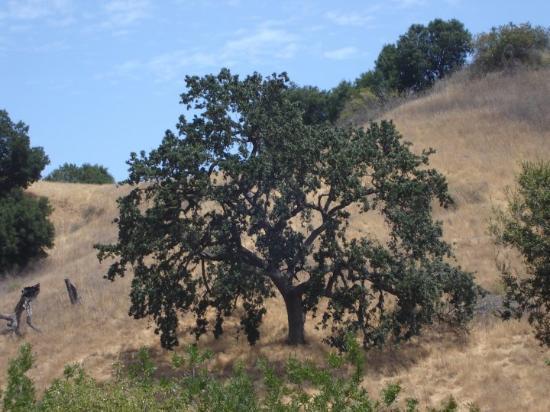 one of my favorite oak trees in Malibu.