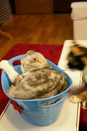 Akihabara: En av katterna som sov i en plåtbalja. Andra busade eller grälade med varandra.