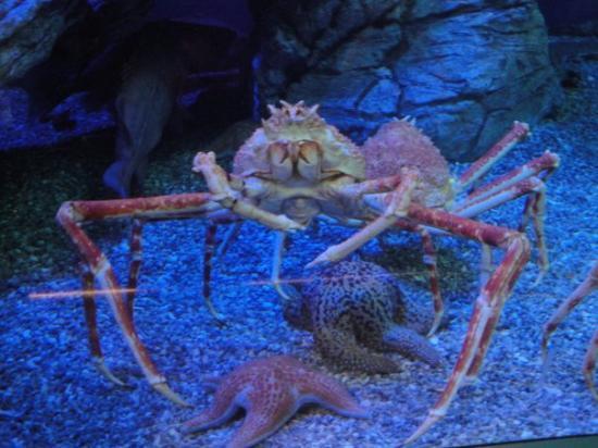 Long Beach, CA: Huge Snow Crab