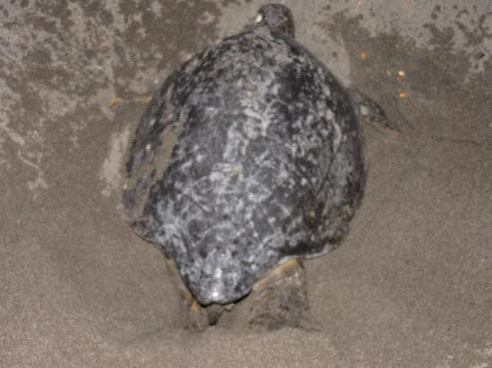 Hotel Riu Guanacaste: Turtle on the beach laying its eggs