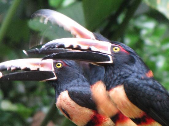 Hotel Riu Guanacaste: awesome tucans