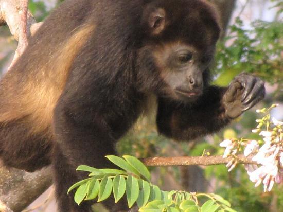 Hotel Riu Guanacaste: howler monkeys outside the Riu