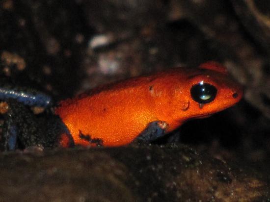 Hotel Riu Guanacaste: The Dart Frog