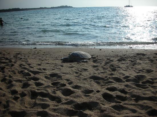 Waikoloa, HI: Turtle at A-bay, love them sooo much!