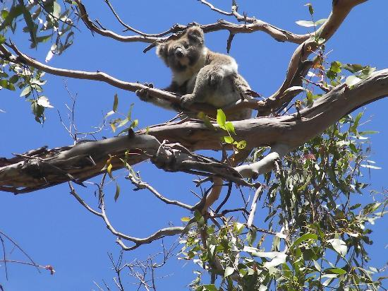 Claerwen Retreat: Koala on the road to Cape Ottway