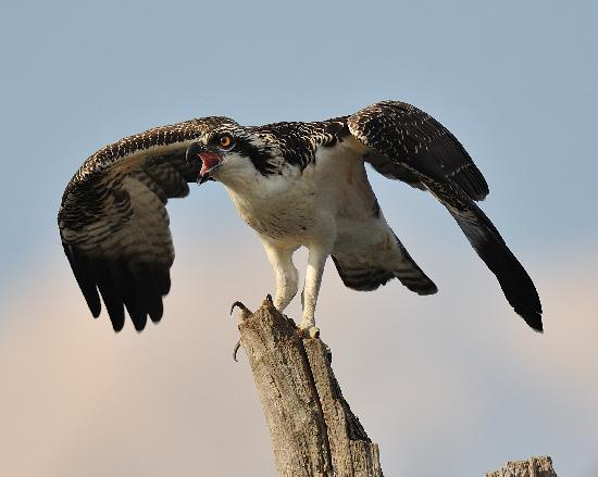 Manasquan Reservoir Visitor Center: Juvenile Osprey calling to sibling