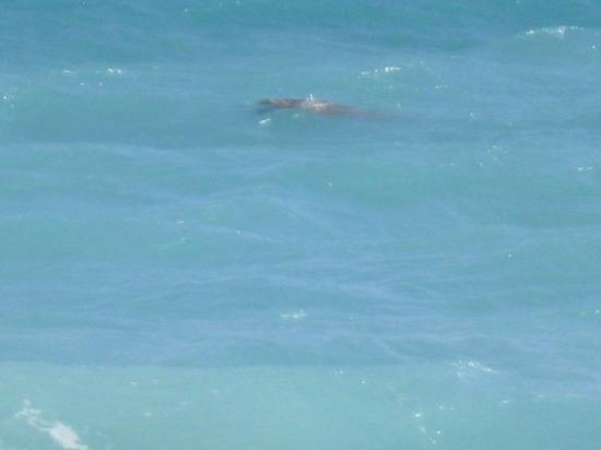 Holetown, Barbados: Huge sea turtle closer to the surface.