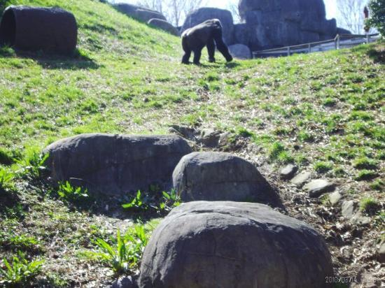 Zoo Atlanta: Gorilla