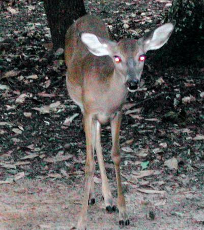 Chiefland, FL: Manatee Springs State Park deer