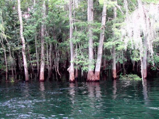 Chiefland, FL: Suwannee River... way down the Suwanee River at Manatee Springs State Park.