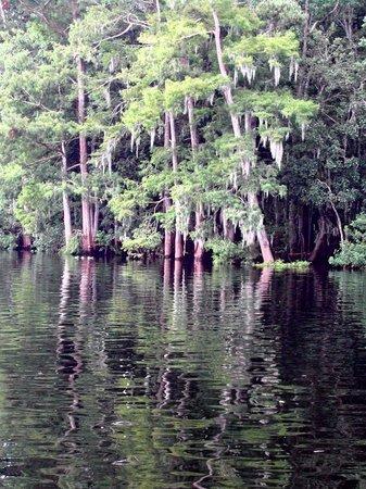 Chiefland, FL: Suwanee River Spanish Moss