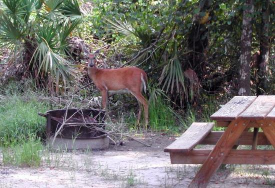 Chiefland, FL: When you camp at Manatee Springs State park, always expect visitors!