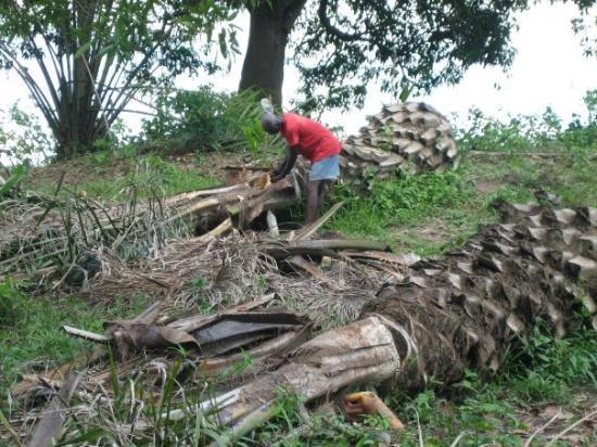 Accra, Ghana: making palm wine