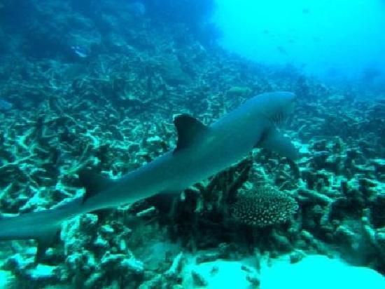 Silverswift Dive & Snorkel: Small reef shark