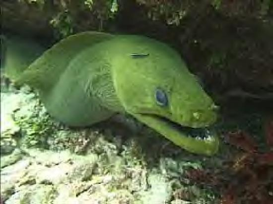 Eden Beach Resort: Green Moray