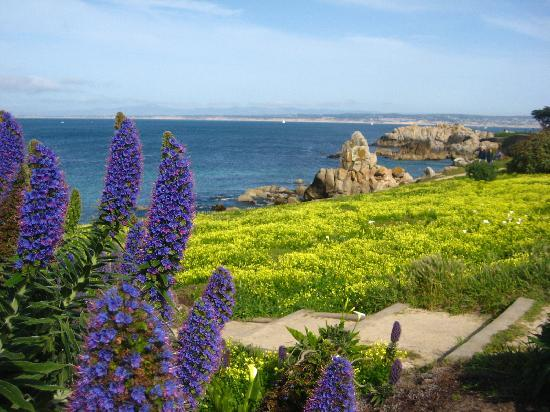 Pacific Grove Oceanview Boulevard: Yellow blooms in Pacific Grove walk path