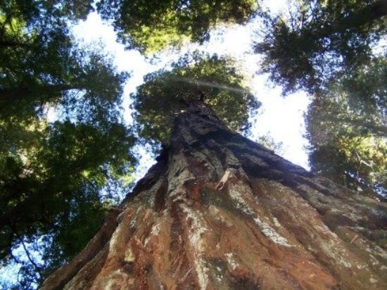 Crescent City, CA: looking up very tall Redwood