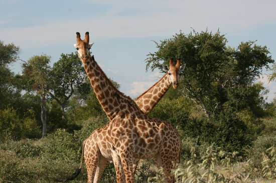 Balule Private Game Reserve, Afrika Selatan: giraffes necking