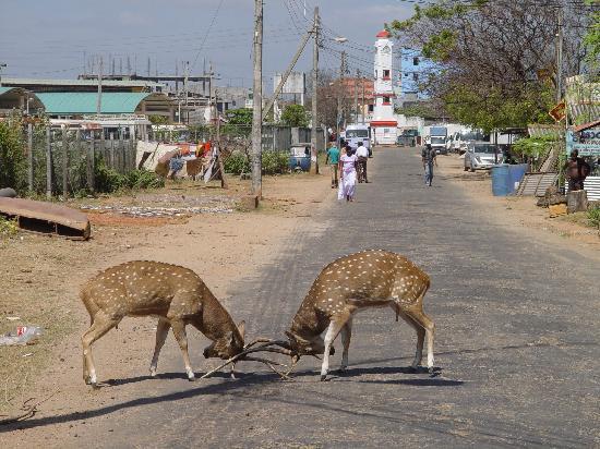 Nilaveli Beach Hotel: Deer in the streets of Trincomalee