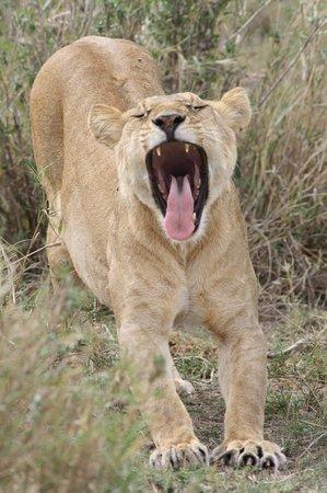 أروشا, تنزانيا: SERENGETI LIONNE