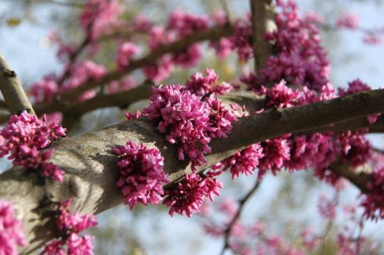 Houston, TX: Redbud Tree of Texas