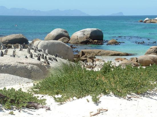 Boulders Beach: African Penguins, on Boulder Island, just south of Cape Town. Just beautiful!