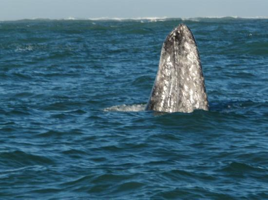 Puerto San Carlos, Mexico: Gray whale doing spyhopping, which is amazing since they are 45 feet long in a bay only 35 feet