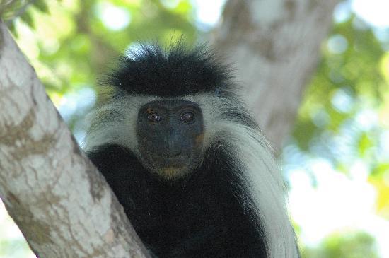 Pinewood Beach Resort & Spa: Monkeys outside the balcony