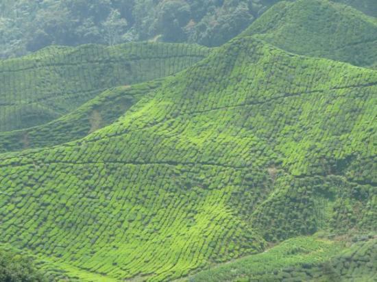 Tanah Rata, Malaysia: Cameroon Highlands - Teeplantagen