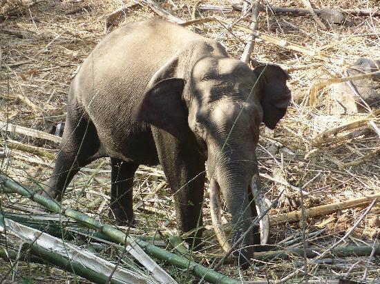 Evolve Back, Kabini: Forest Elephant