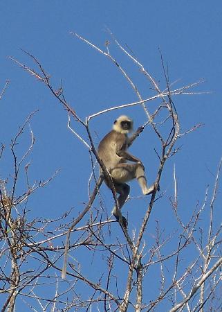 Evolve Back, Kabini: Langur monkey