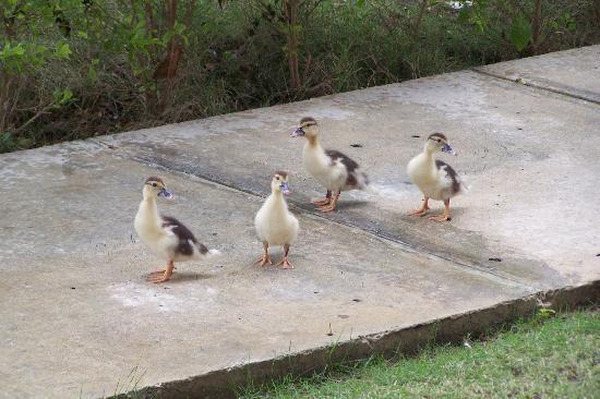 IFA Villas Bavaro Resort & Spa: ducks
