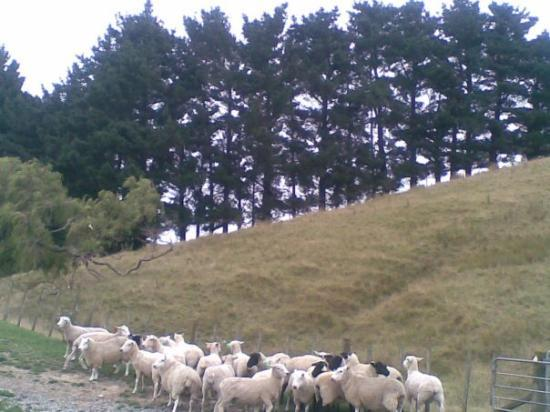 Palmerston North, Nowa Zelandia: sheep and the beautiful scenery