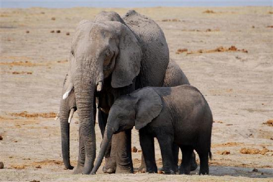 Chobe National Park, บอตสวานา: Elephants con't