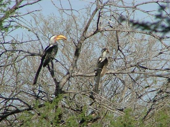 Γκαμπορόνε, Μποτσουάνα: Hornbills at Gabarone Game Reserve