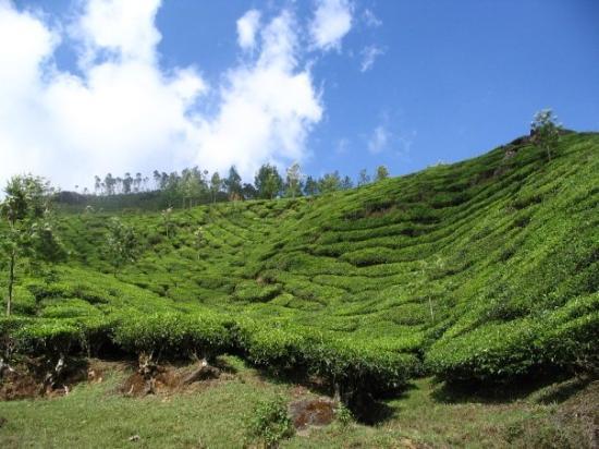 Tea, Munnar, Kerala