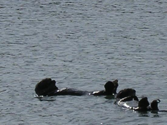 Elkhorn Slough Safari: Sea Otters are adorable seen in their natural habitat.In May, when newborns are plentiful, an ex