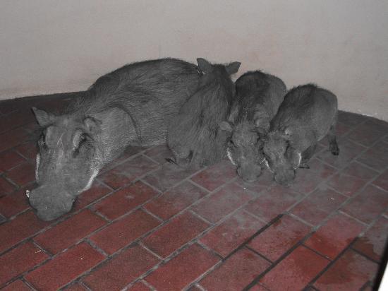 Bonamanzi Game Reserve: Mummy Warthog & family!
