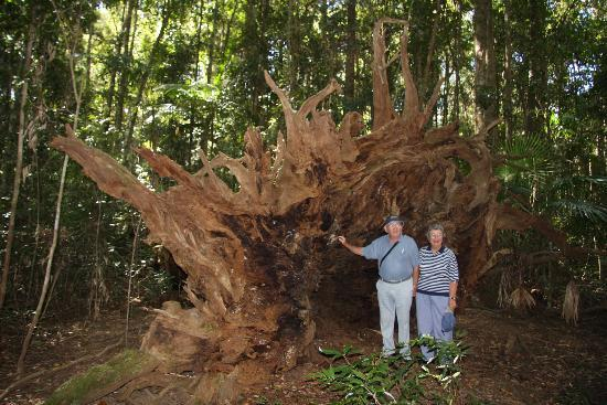 Gympie Tours: Look at the size of this stump!