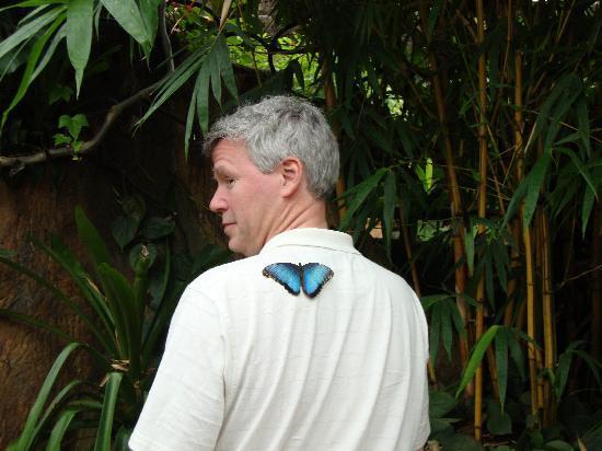 Peace Lodge butterfly garden - Blue Morpho