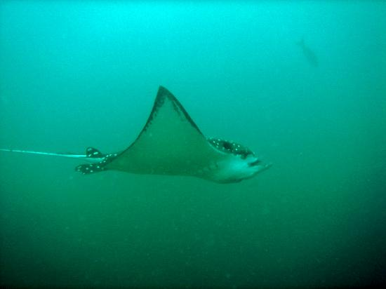 Ocotal Beach Resort: We lost count of the Spotted Eagle Rays